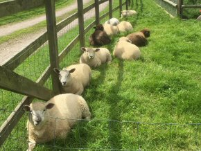 Ewes and lambs relaxing